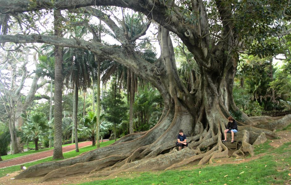 Nice tree. This tree with its massive root system can be found in the park Jardim Antonio Borges.