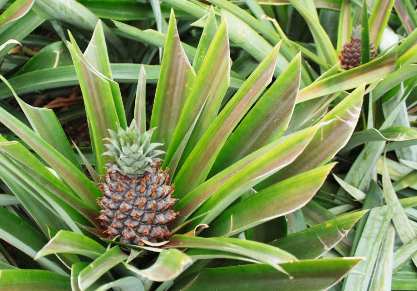 Pineapple. We also visit one of the pineapple plantations in Ponta Delgada.