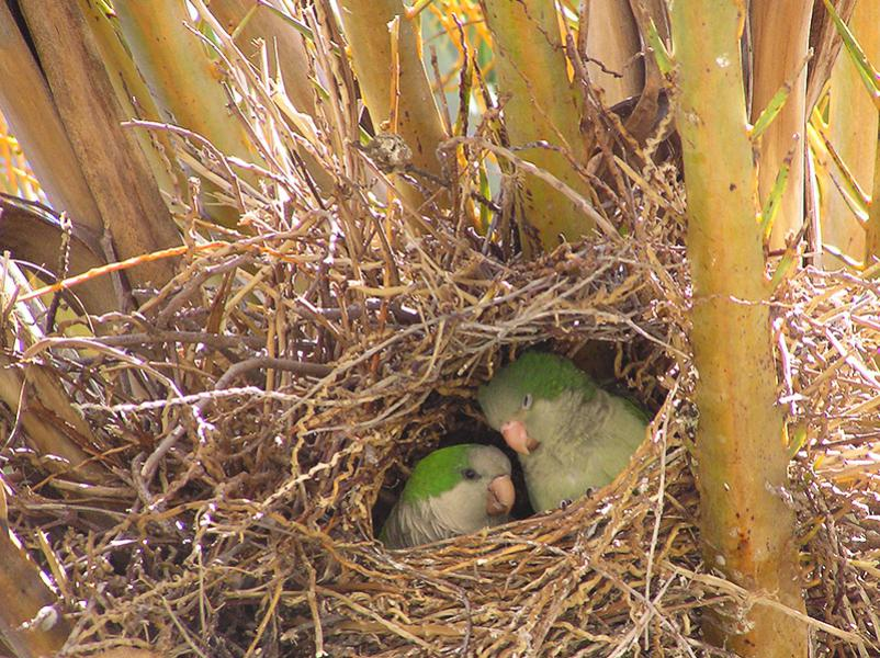 Lovebirds. The swedish expression for lovebirds is about pigeons but here there are parrots. These were found in a palm near Empuriabrava port.